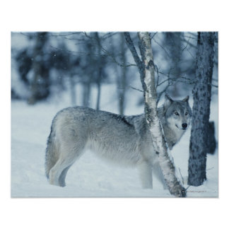 Wolf (Canis lupus) during Winter Poster