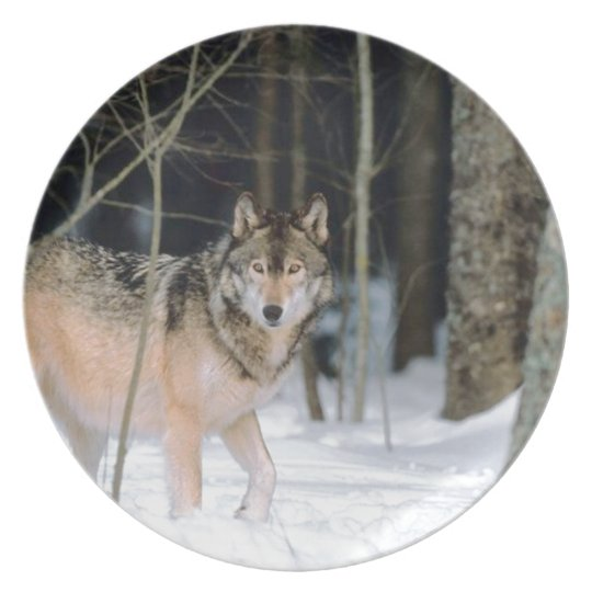 Wolf In Snow Photographic Plate