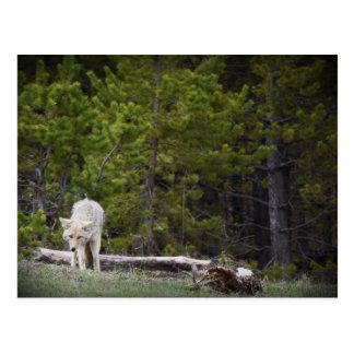 Wolf in Yellowstone Postcard