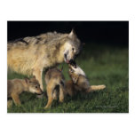 Wolf mother with young pups postcard