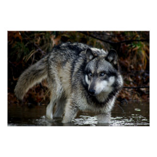 Wolf on the Water! Poster