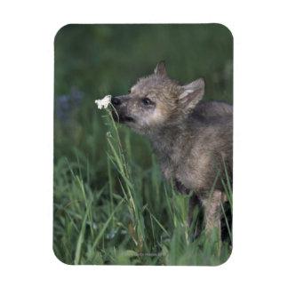 Wolf Puppy Sniffing Mountain Wildflower Rectangular Photo Magnet