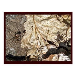 Wolf Spider Courting Pair Postcard