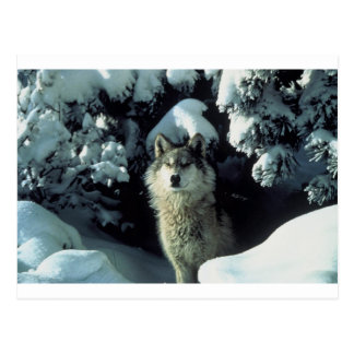 Wolf Standing in Snow Postcard