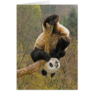 Wolong Panda Reserve, China, 2 1/2 yr old Card