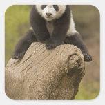 Wolong Panda Reserve, China, Baby Panda on top Square Sticker