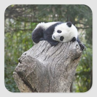 Wolong Reserve, China, Baby panda asleep Square Sticker