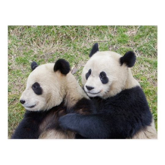 Wolong Reserve, China, Giant panda hugging Postcard