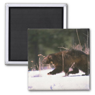 Wolverine running through snow square magnet