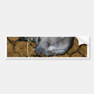 Wombat_Siesta_Time,_ Bumper Sticker