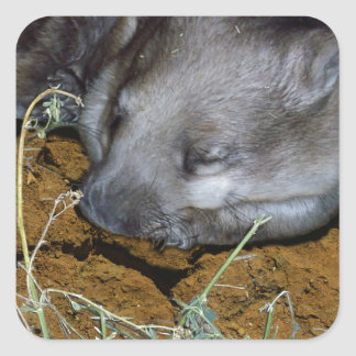 Wombat_Siesta_Time,_ Square Sticker
