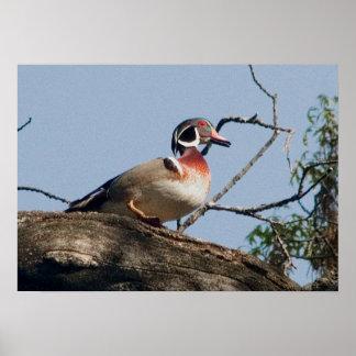 Wood Duck drake in oak Poster