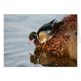 Wood duck on the shore card