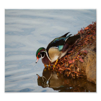 Wood duck on the shore poster