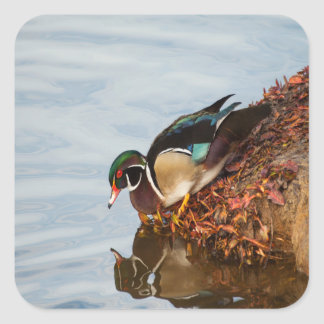 Wood duck on the shore square sticker