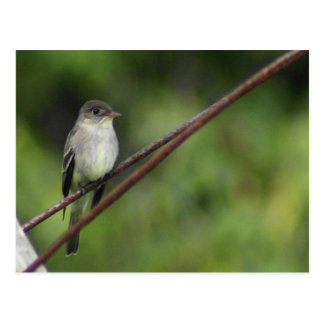 Wood Peewee Postcard