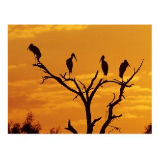 Wood Stork, Mycteria americana,adults at Post Card