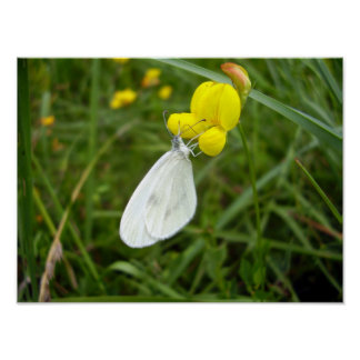 Wood White Butterfly Poster
