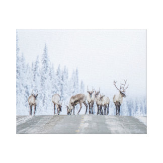 Woodland Caribou Canvas Print