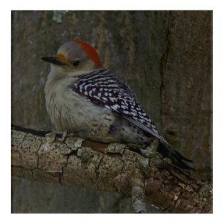 Woodpecker, Acrylic Print. Acrylic Print