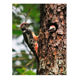 Woodpecker and chick postcard