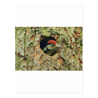 Woodpecker Postcard