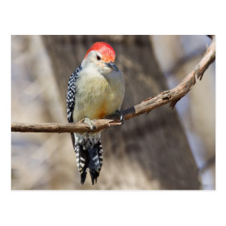 Woodpecker - Red-bellied III Postcard