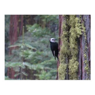 Woodpecker- Yosemite Postcard