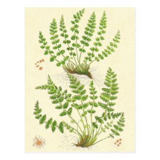 Woodsia Fern Postcard