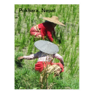 Working in the Rice Paddy Postcard