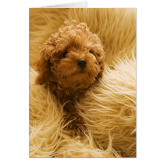Wrapped up Poodle Card