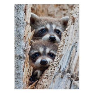 Wyoming, Lincoln County, Raccoon Postcard