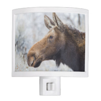 Wyoming, Sublette County, head shot of cow Moose Night Lights