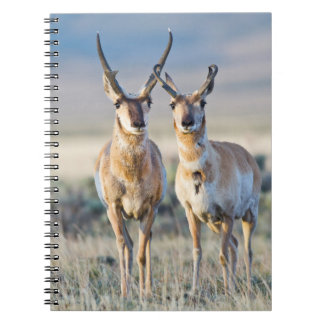 Wyoming, Sublette County, Pronghorn bucks Spiral Notebooks