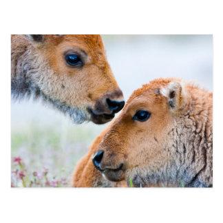 Wyoming, Yellowstone National Park, Bison calves Postcard