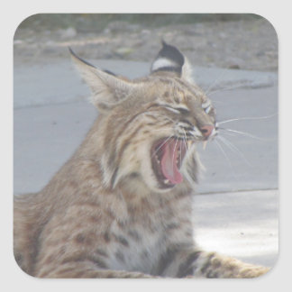 Yawning Bobcat Square Sticker