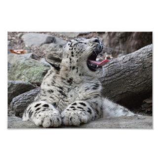 Yawning Snow Leopard Cub Photo