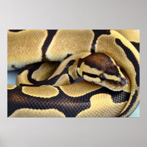 Yellow and Black Ball Python 3 Print