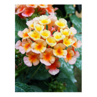 Yellow and Orange Lantana Postcard