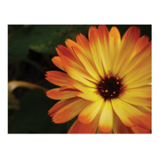 Yellow and Orange Pot Marigold Postcard