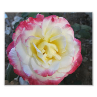 Yellow and Pink Peace Rose Photograph