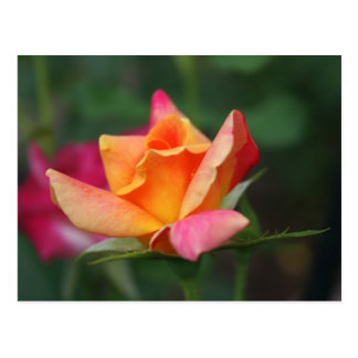 Yellow and Pink Rose Postcard