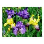 Yellow and Purple Irises Post Cards