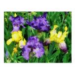 Yellow and Purple Irises Post Cards