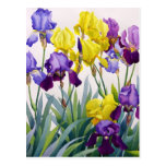 Yellow and Purple Irises Postcard