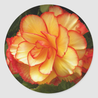 Yellow and Red Begonia Floral Classic Round Sticker