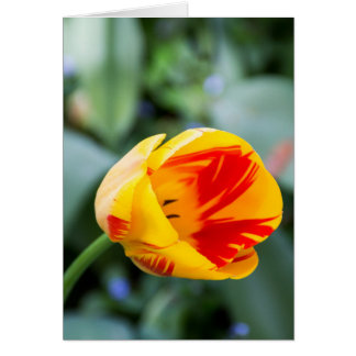 Yellow and Red Striped Tulip Card #3177