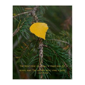 Yellow Aspen Leave on Evergreen Branch Photograph Acrylic Print