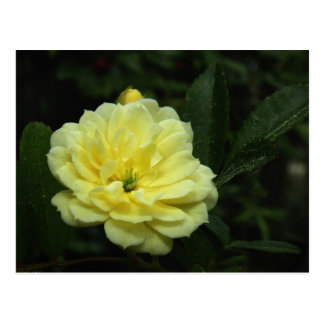 Yellow Banksia Rose Postcard
