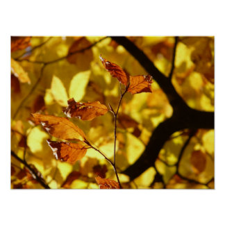 Yellow beech leaves print art poster
